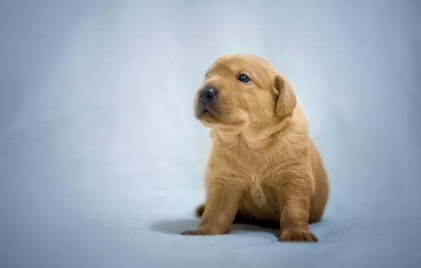 Картинка фон, собака, малыш, щенок, Лабрадор-ретривер