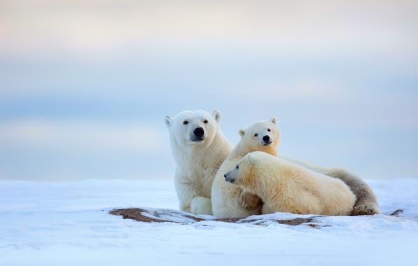 Картинка холод, зима, снег, медвежата, север, белые медведи, медведица