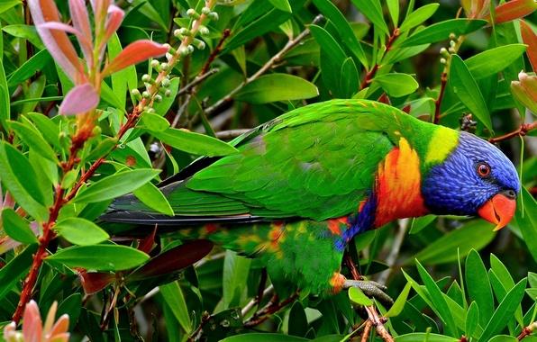 Картинка листья, ветки, птица, попугай, Многоцветный лорикет