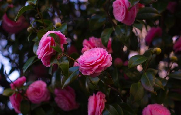 Картинка листья, цветы, ветки, розовая, куст, цветение, много, камелия