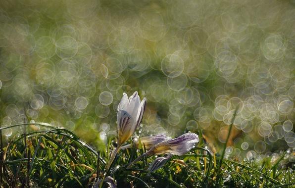 Картинка макро, роса, весна, крокус, боке