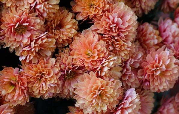Картинка лепестки, хризантемы, много