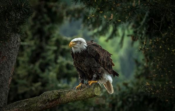 Картинка дерево, птица, хищник, сосна, ястреб, Белоголовый орлан