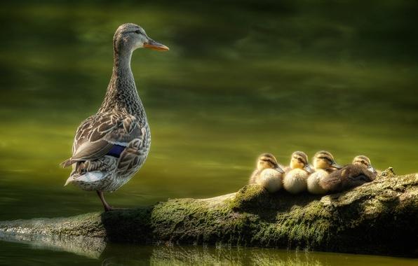 Картинка вода, птицы, птица, бревно, утята, утка, птенцы, выводок