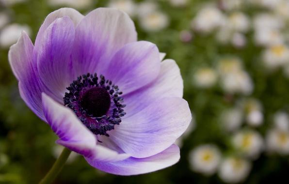 Картинка цветок, фиолетовый, макро, цветы, природа, сиреневый, мак, лепестки, размытость