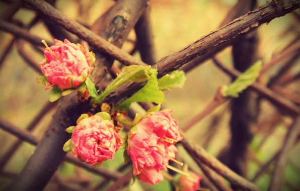 Картинка макро, цветы, дерево, розовый, роза, куст, ветка, весна, три