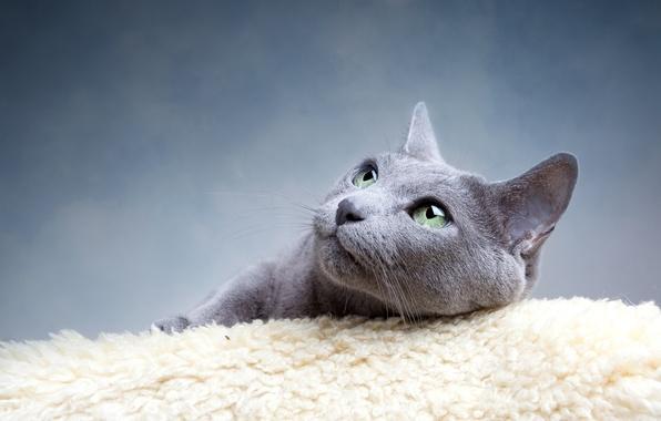 Картинка кошка, глаза, кот, усы, взгляд, серый, зеленые, голубая, русская, порода