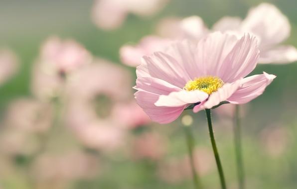 Картинка цветок, лето, макро, цветы, природа, розовый, фокус, размытие, лепестки, космея