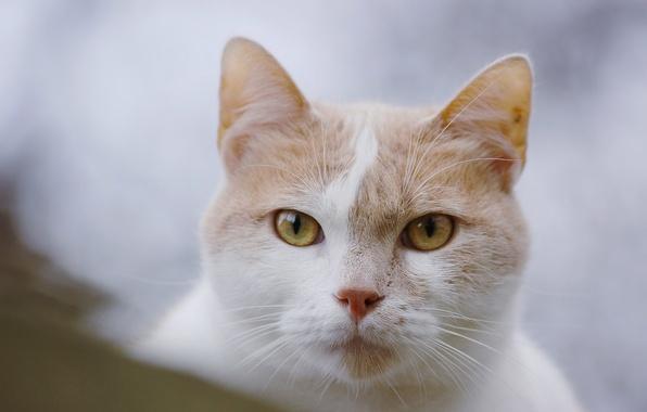 Фото обои кошка, взгляд, мордочка, кот