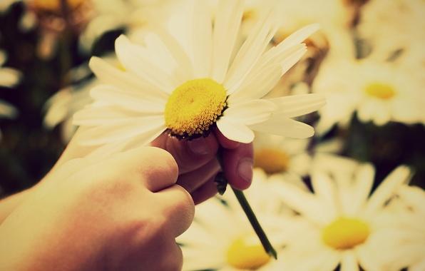 Картинка белый, солнце, цветы, желтый, дети, фон, widescreen, обои, ребенок, рука, лепестки, ромашка, стебель, wallpaper, rose, …
