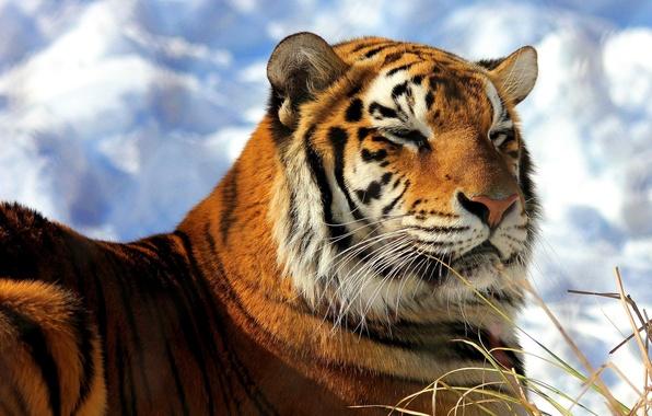 Картинка морда, снег, тигр, лежит, довольный, амурский, греется
