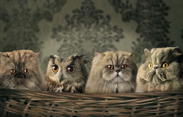 Картинка кошаки, сова, обои, Корзина