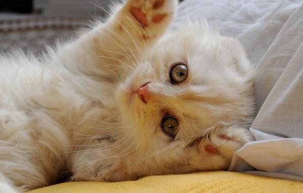 Картинка кошка, взгляд, лапки, мордочка, скоттиш-фолд, Шотландская вислоухая кошка