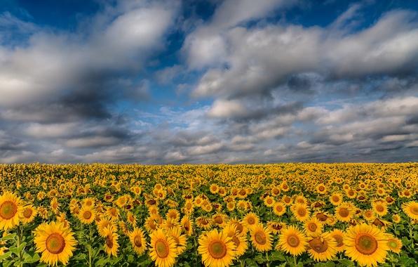 Картинка поле, облака, подсолнухи