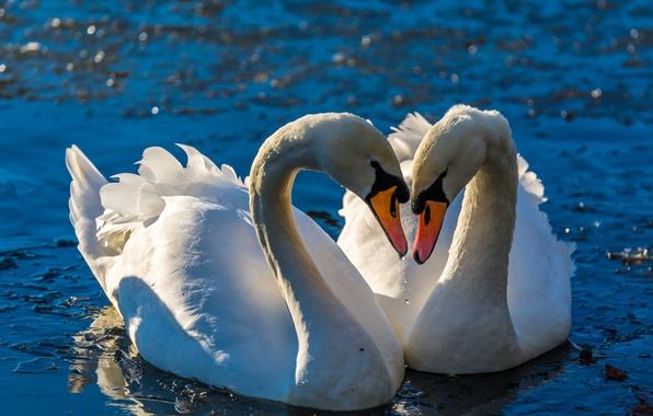 любовь картинки лебеди