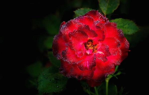 Картинка листья, капли, роса, роза, куст, лепестки