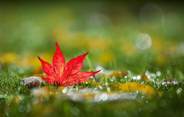 Картинка grass, autumn, bokeh, leaf, mapleleaf