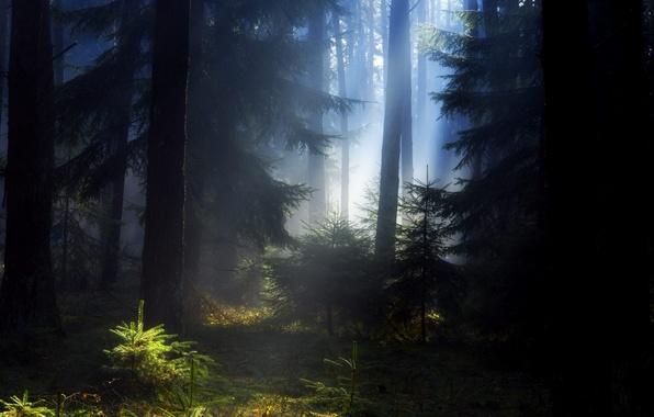 Картинка лес, лето, елки, красота, вечер, утро, дымка, сосны