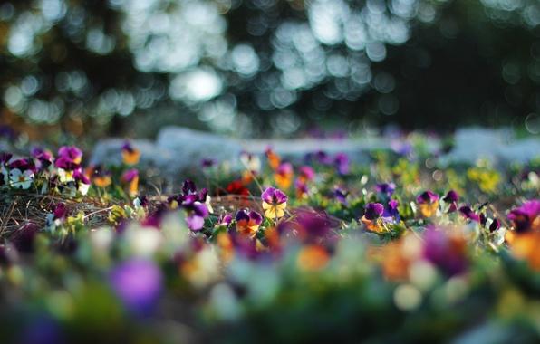Картинка цветы, блики, размытость, анютины глазки