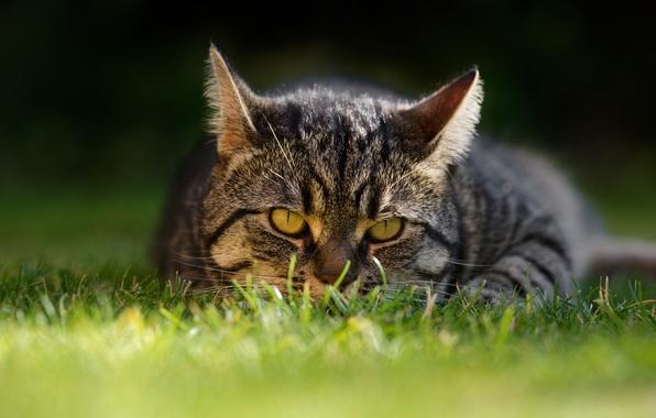 Картинка кошка, трава, кот, взгляд, мордочка