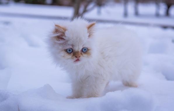 Картинка зима, белый, снег, пушистый, котёнок, голубые глаза