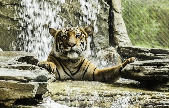 Картинка морда, тигр, хищник, купание, дикая кошка, зоопарк