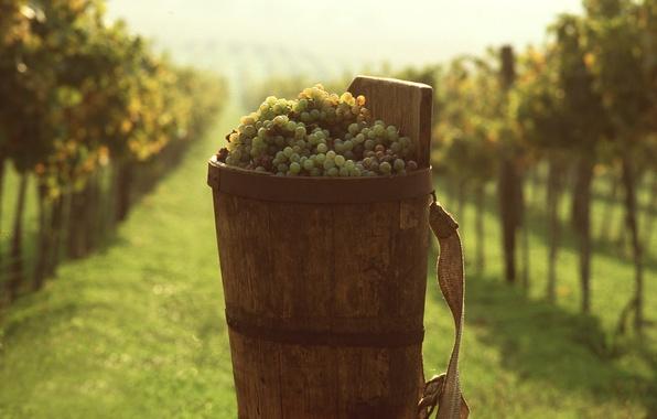 Картинка виноград, ведро, виноградник, Еда