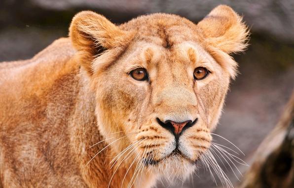 Картинка Львица, грустный взгляд, хищница