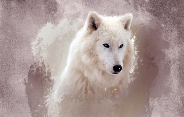 Картинка белый, глаза, морда, волк