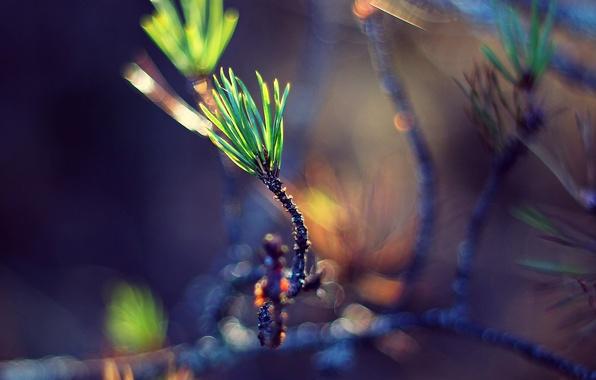 Картинка зелень, макро, веточка, росток, хвоя, боке