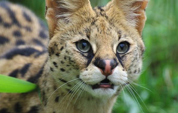 Картинка глаза, взгляд, дикая кошка, сервал