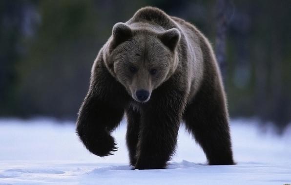 Картинка взгляд, снег, лапа, медведь
