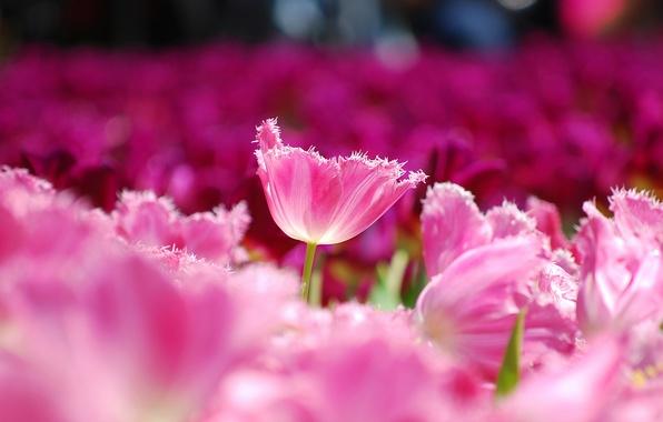 Картинка поле, макро, цветы, лепестки, размытость, Тюльпаны, розовые