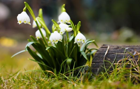 Картинка цветок, трава, макро, цветы, дерево, пень, весна, подснежники, бревно, цветочки, цветки, пенёк