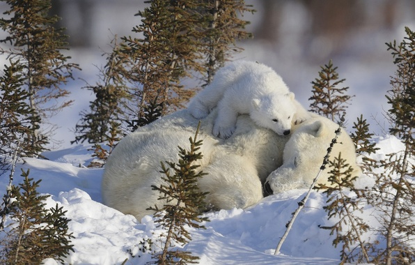 Картинка малыш, медведи, спит, белые, детеныш, мама, медведица, медвеженок, на снегу