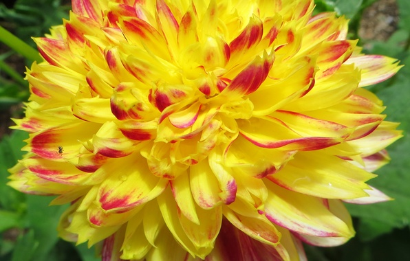 Картинка фото, Цветы, Желтый, Георгины