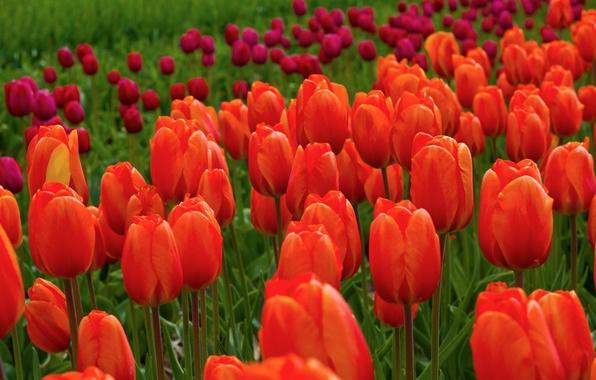 Картинка поле, цветы, природа, тюльпаны, красные, розовые