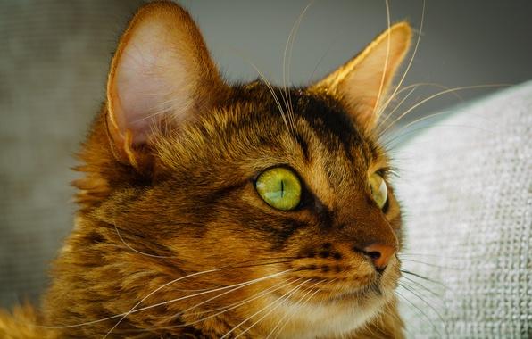Картинка кошка, глаза, кот, усы, взгляд, морда, зеленые, уши