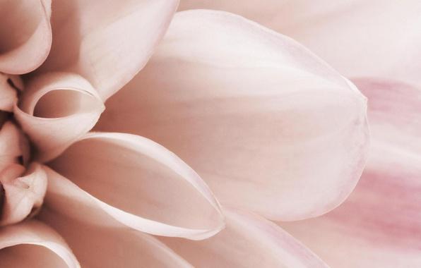 Картинка цветок, макро, розовый, нежность, лепестки