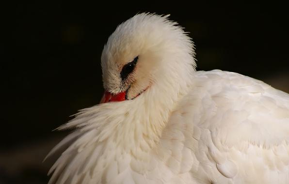 Фото птица цапля оперение белая