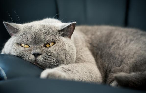 Картинка кошка, глаза, кот, взгляд, морда, шерсть, кошак