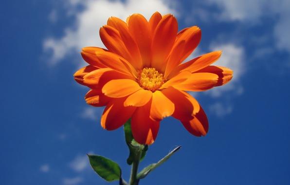 Картинка цветок, лето, небо, облака