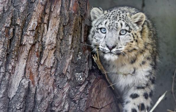 Картинка кошка, взгляд, дерево, ирбис, снежный барс, детёныш, котёнок, ©Tambako The Jaguar
