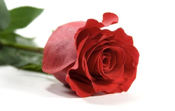 Цветы роза красная лепестки листья