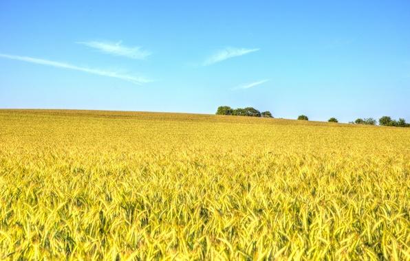 Обои для рабочего стола поле пшеницы