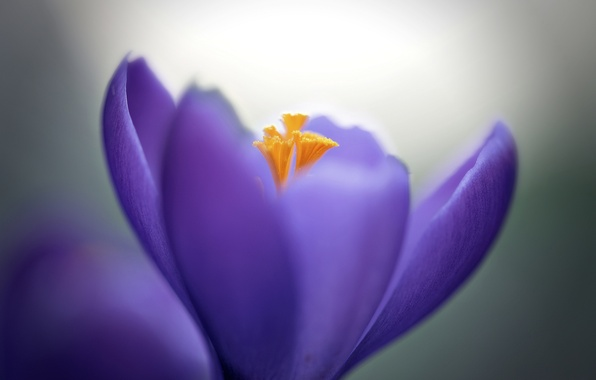 Картинка цветок, макро, сиреневый, лепестки, Крокус