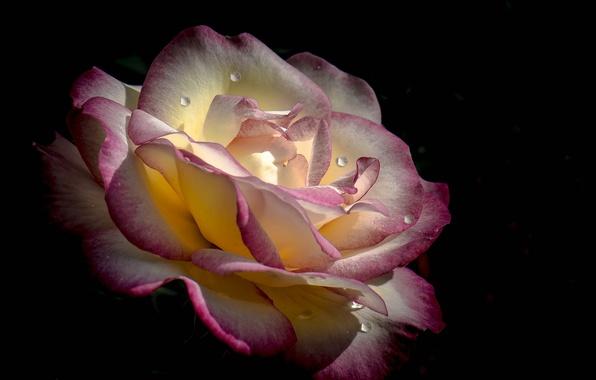 Картинка цветок, вода, капли, роса, фон, роза, лепестки, бутон