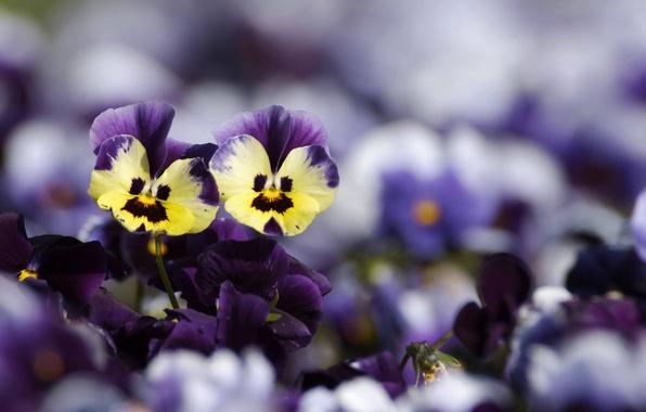 Картинка цветы, желтые, размытость, фиолетовые, анютины глазки
