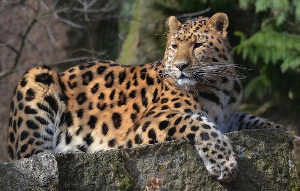 Картинка усы, взгляд, морда, лапа, хищник, леопард, лежит, leopard, пятнистый, на камне