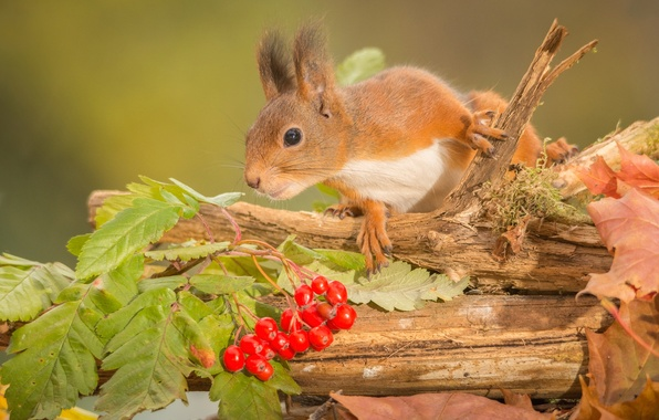 Картинка осень, листья, ягоды, животное, ветка, белка, ствол, грызун, калина